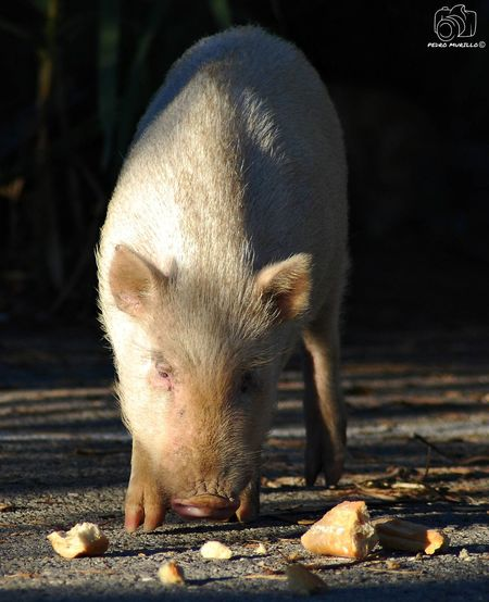 Minipig Minipigs Cerdo Pig Cerdos Pig Albine Albinism Porc Albi Albino Animal Wildlife Animal Photography Photooftheday Outdoor Photography Naturelovers Natgeo Safari Forest Adventure Hiking Animals In The Wild Mammal Nature_collection Landscape_collection EyeEmNatureLover Nikon D60 Martorell Catalunya Animal Photography Nikonphotograhy Nikonphotography Naturephotography Naturaleza🌾🌿 Naturaleza🌵🌻🎶 Nikonphotographers