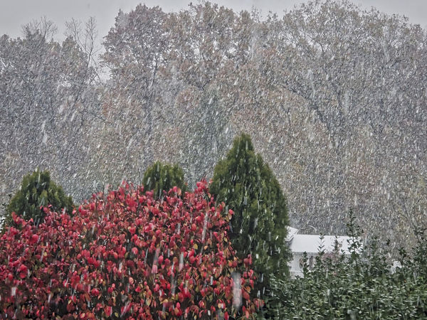 "First snow. Baltimore, Maryland USA"" Falll Fall Colors In The Snow Snow Serenity Flower Tree Flower Head Sky Plant Cold Snowcapped Snow Covered Snowfall Cold Temperature White"