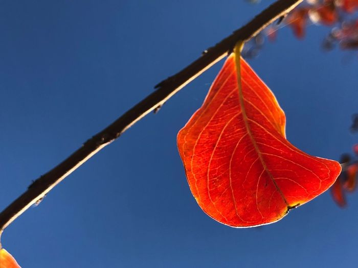 Low Angle View Of Maple Leaf Against Clear Blue Sky