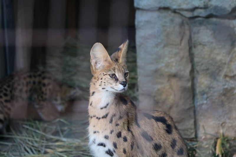Serval  Serval