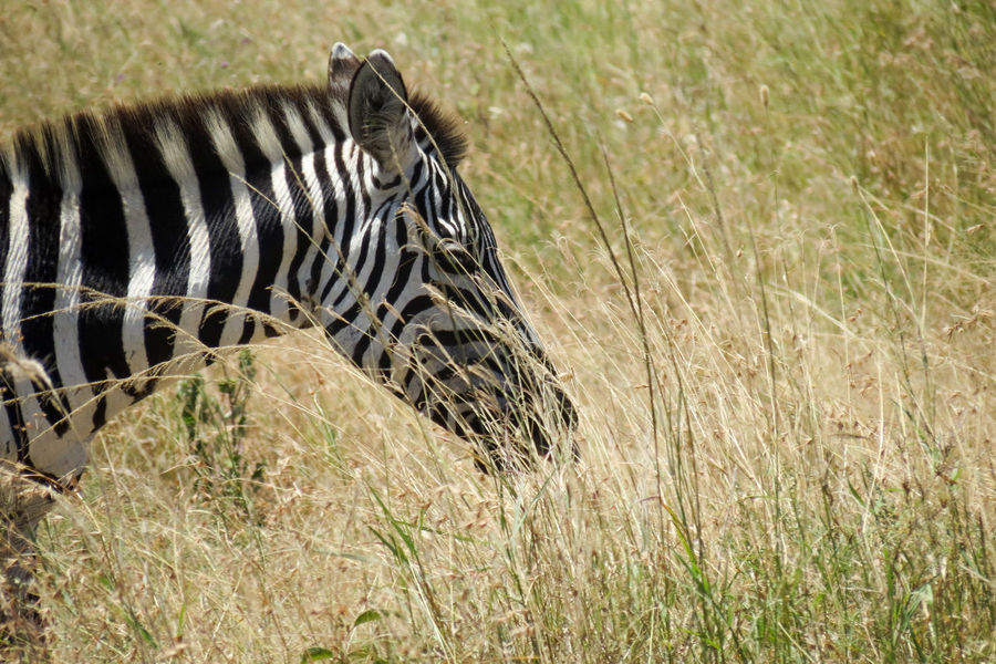 Zebra in the Grass Animal Head  Animal Markings Animal Photography Animal Themes Animal Wildlife Animals In The Wild Grass Safari Adventure Safari Animal Safari Animals Tourist Attraction  Vacation Photos   Veld Wildlife & Nature Wildlife And Nature Wildlife Photography Wildlife Photos Zebra Zebra Print Zebra Stripes