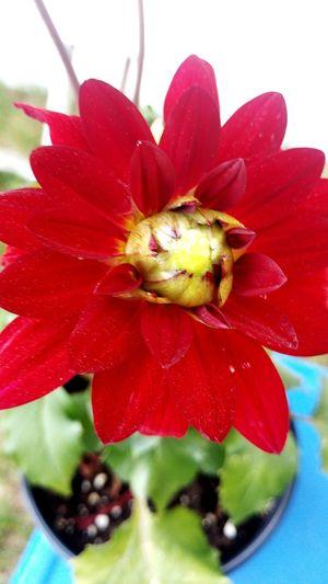 Flower Head Flower Red Petal Close-up Plant