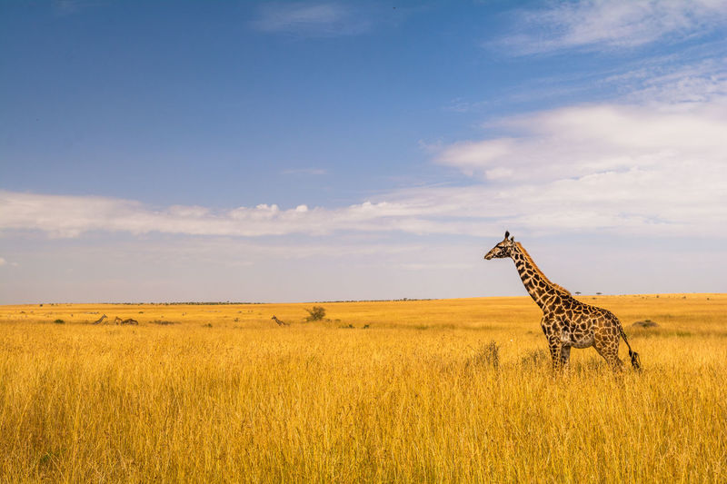View of giraffe in a field