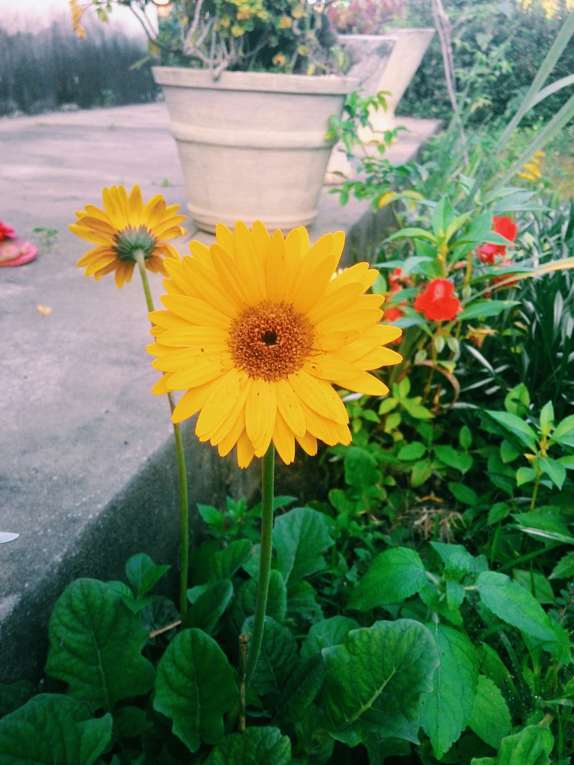 flower, petal, freshness, fragility, flower head, yellow, leaf, growth, plant, beauty in nature, blooming, high angle view, nature, in bloom, potted plant, green color, close-up, day, front or back yard, pollen