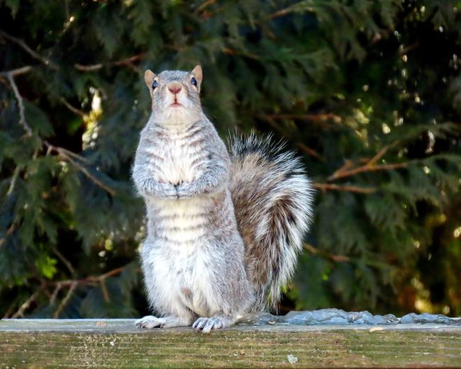 EyeEm selects squirrel shows off his six pack standing up looking up wooden railing trees selective focus animal themes EyeEm nature lover Animal Wildlife One Animal Close-up Rodent No People