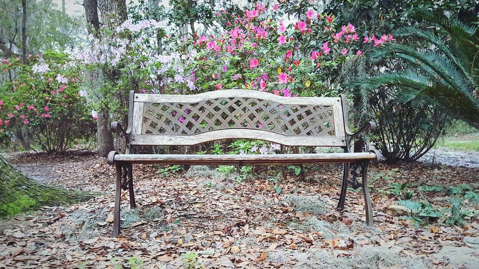 Nature Flower Blossoms  No People Pink Color Outdoors Growth Azalea Low Angle View Tranquility Azalea Blossoms Awaken Beginnings Scenics Tree Area Bench Park Spring Blossoms  Petal Freshness Fragility EyeEmNewHere