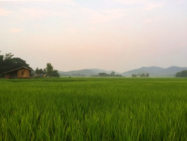 Agriculture Beauty In Nature Crop  Cultivated Land Day Field Grass Grassy Green Green Color Growth Idyllic Landscape Mountain Nature No People Non-urban Scene Outdoors Plant Remote Rural Scene Scenics Sky Tranquil Scene Tranquility