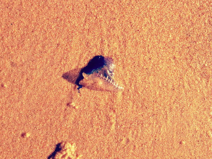 Sunlight Sand Beach Close-up Animal Themes Day Sea Outdoors Beauty In Nature Waters Pest Bluebottle