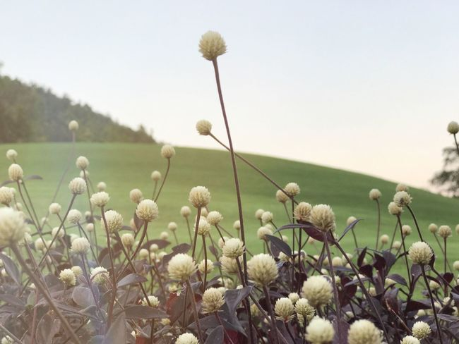 EyeEm Best Shots Flower Growth Nature Fragility Plant Field No People Beauty In Nature Outdoors Blooming Day Rural Scene Tranquility Sky Freshness Flower Head Close-up Cotton Plant EyeEmNewHere EyeEm Nature Lover Beauty In Nature Freshness Nature Mountain