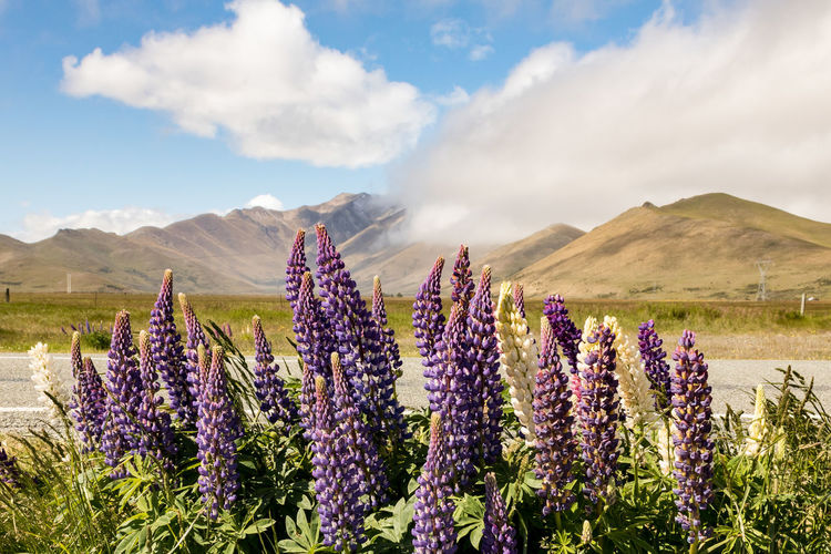 Beauty in Nature Beauty In Nature Flower Plant Sky Flowering Plant Cloud - Sky Nature Tranquility Environment Growth Mountain Tranquil Scene Scenics - Nature Land Landscape Field Day Purple No People Freshness Outdoors Lupin New Zealand Scenery