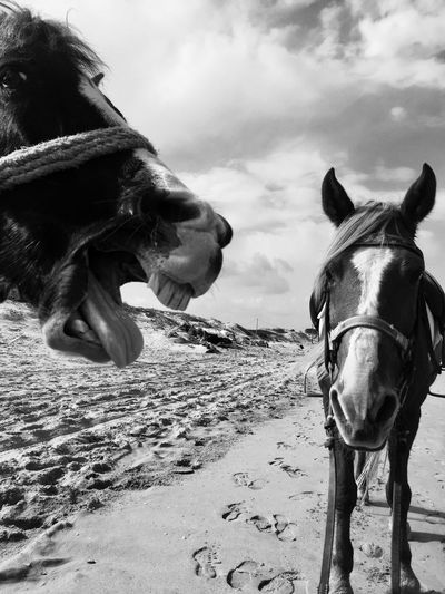Domestic Animals Beachphotography Saddled Up And Ready To Go Black And White Photography Black And White Black & White Blackandwhitephotography Blackandwhite Yawning Horse Yawning Horsesareawesome Horsesonthebeach Horse Photography