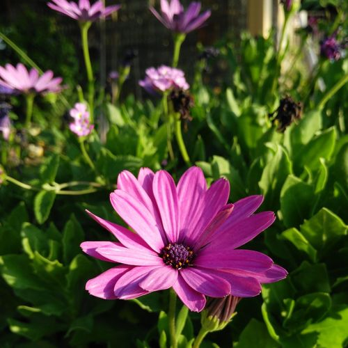Flower Beauty In Nature Purple In Bloom Daisy Botany Bloom Blossom Nature Plant Petal Freshness Growth African Daisy Daisy Daisy 🌼 Daisyflower Daisylove Garden Best Of Summer First Eyeem Photo Sopretty Recentforrecent Recentforrecentalways Recentforfollow