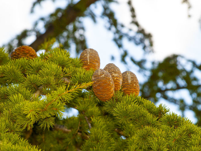Beauty In Nature Cedar Cedar Cones Cedar Tree Cedrus Close Up Nature Close-up Cold Temperature Cone Day Environment Garden Growth Leaf Low Angle View Nature Nature No People Outdoors Plant Sky Spring Springtime Tree Tree