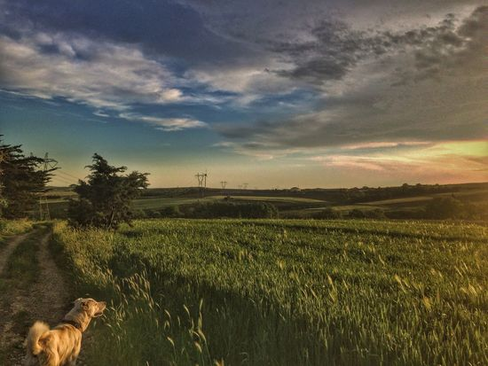 Field Sky Nature Cloud - Sky Landscape One Animal Rural Scene Sunset Agriculture Growth Domestic Animals Tree No People Tranquil Scene Tranquility Animal Themes Dog Mammal Outdoors Beauty In Nature