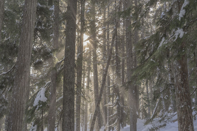 Tree Plant Forest No People Nature WoodLand Tree Trunk Tranquility Snow Outdoors Winter Pine Woodland Coniferous Tree Trees Sunlight Shaft Ray Rays Of Light Shafts Of Sunlight Day Cold Temperature Quiet Serene Peaceful Snowing