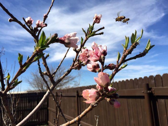 Peach Tree Pink Fowers EyeEm Best Shots EyeEm Nature Lover Bee IPhone Nature