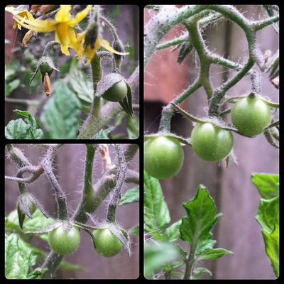 Lots of new Cherrytomatoes ! They still have a while but they're doing great. I'm so proud of my tiny Garden . ? Oregon Gardening tomatoes growyourfood blossom picoftheday