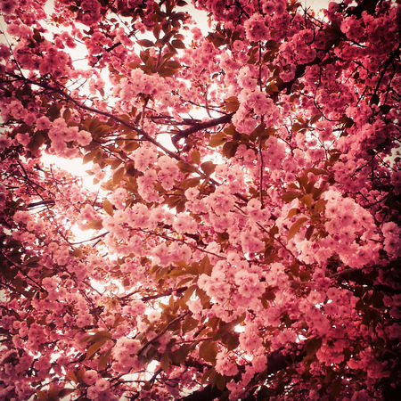 Beauty In Nature Blooming Blossom Flower Flowerporn Flowers Freshness Hellospring In Bloom Nature Pink Pink Pink Flower Sakura Season  Spring Spring Flowers Springtime Tree