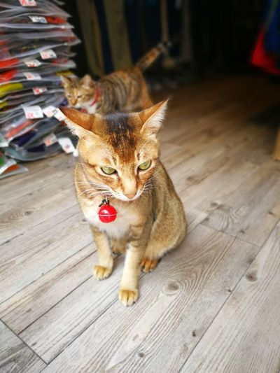 Pets Animal Domestic Animals Domestic Cat Cute Animal Themes Huawei P10 Plus Huaweiphotography