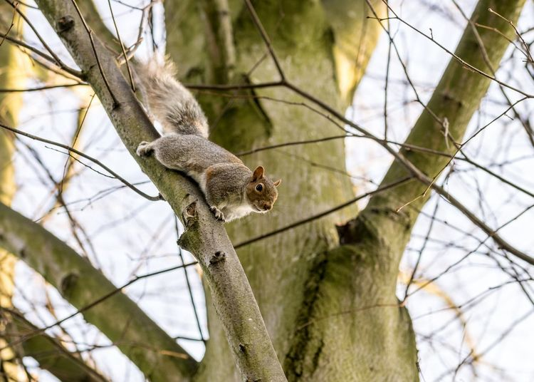 Climbing Grey Squirrel Animals In The Wild Animal Wildlife One Animal Animal Themes Animal Tree Branch Vertebrate Mammal Focus On Foreground Plant No People Day Low Angle View Nature Outdoors Squirrel Zoology Rodent