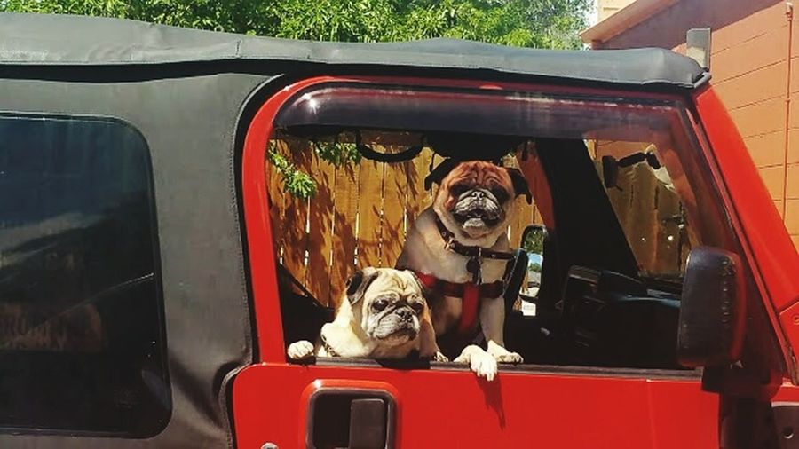 Two pugs out on the town red car Dog Dogslife happy car ride riding joy