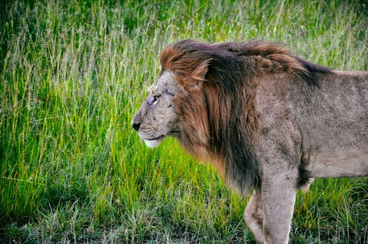 Nature On Your Doorstep Kenya Maasai Mara Nationalpark Lion Kingofthejungle Majestic