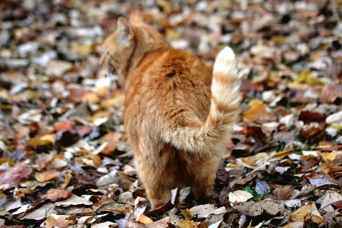 Autumn Leaf One Animal Animal Themes Pets Animals In The Wild No People Outdoors Orange Cat Feline Frisky Tail Cat Tail Foliage, Vegetation, Plants, Green, Leaves, Leafage, Undergrowth, Underbrush, Plant Life, Flora Autumn