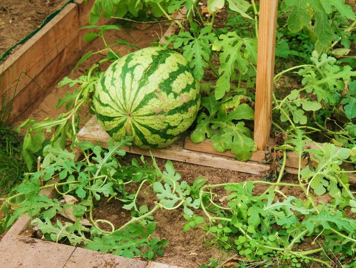 Watermelon High Angle View Leaf Plant Green Color Close-up Food And Drink Watermelon Fruit Salad Fruit