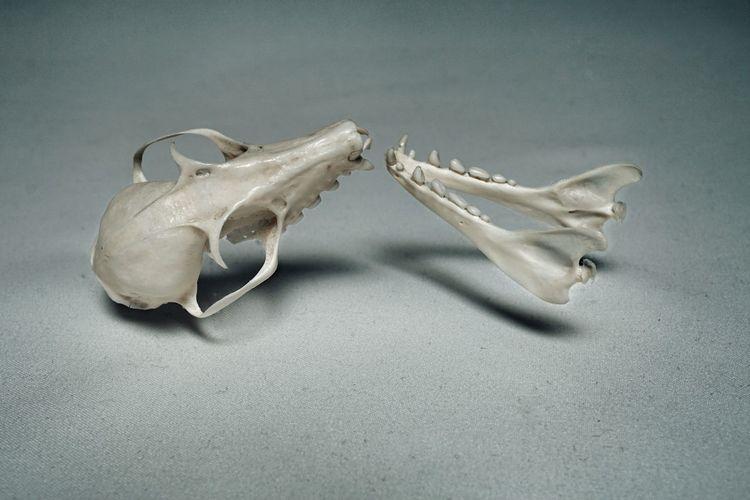 Libratus Close Up Poised Bat Skull Structure Skull Bone  Mandible Jawbone Teeth Balance EyeEm Selects Still Life Close-up Animal Single Object Pair