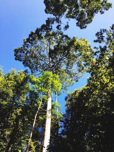 Big tree in big mountain. Tree Mountain Big Tree