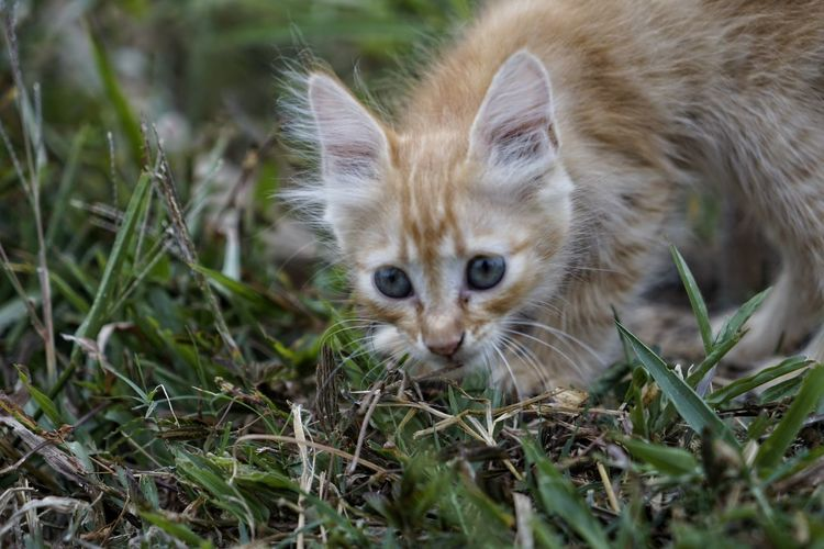 Animal Themes Animal One Animal Mammal Vertebrate No People Plant Looking At Camera Land Grass Domestic Selective Focus Field Nature Portrait Pets Young Animal Day Feline Domestic Animals Kitten Whisker Animal Head  Animal Eye
