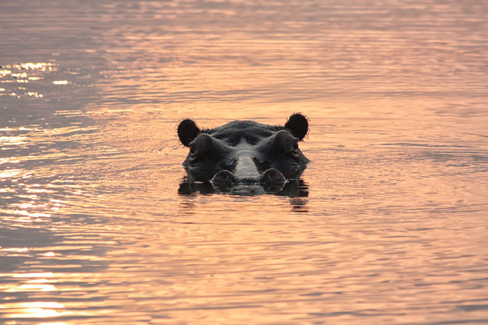 Hippopotamus Africa Golden Reflections Hippo Lake St Lucia Mammal No People One Animal Outdoors St Lucia St Lucia Wetland Park Sunrise Sunset Water