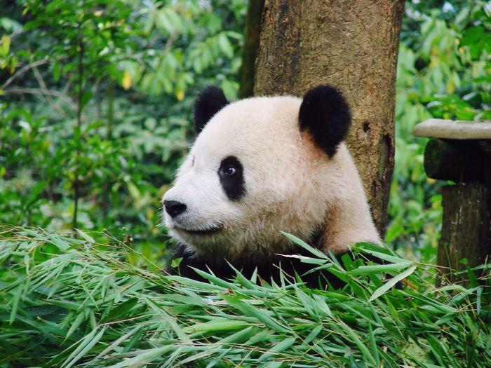 Close-up of a panda amid plants
