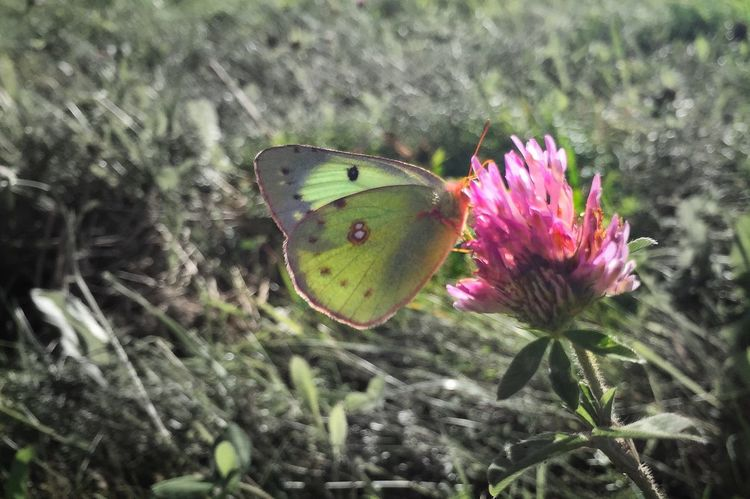 Cabbage moth feeding on red clover. Nature Insect Cabbage Moth Red Clover Plant Flower Butterfly - Insect Pink Color Outdoors No People Animals In The Wild Grass Farm Land Agriculture