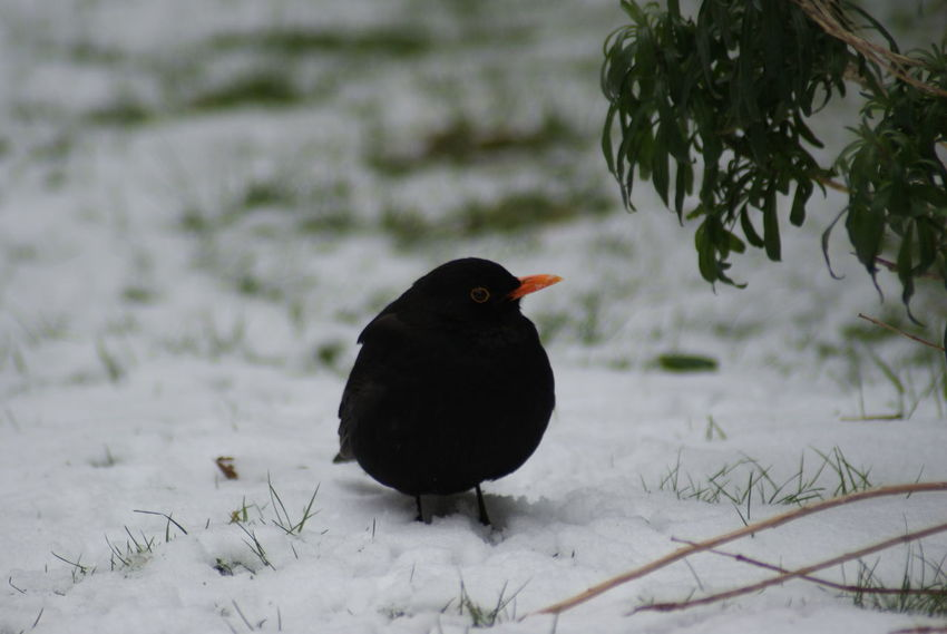 Animal Themes Animal Wildlife Animals In The Wild Bird Black Color Blackbird Cold Temperature Day Nature No People One Animal Outdoors Snow Winter