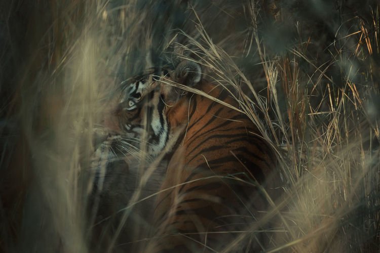 Close-up of tiger amidst plants on field