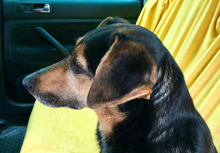Close-up of dog relaxing in car