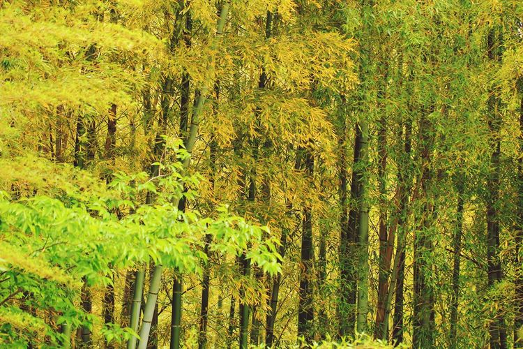 Bamboo Bamboo Forest Backgrounds Full Frame Yellow Pattern Textured  Close-up Green Color Grass In Bloom