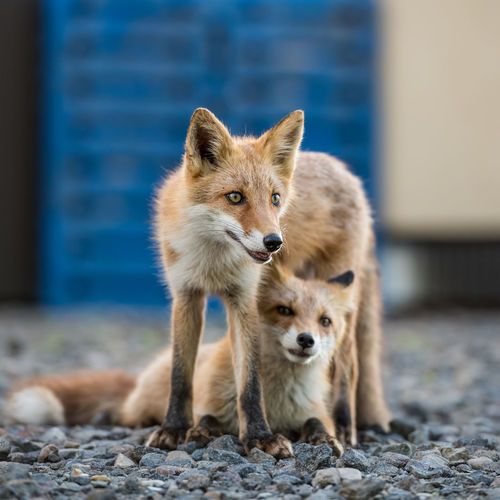 Foxes on gravel