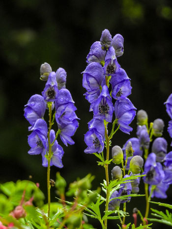 Blauer Eisenhut Dunkler Hintergrund Beauty In Nature Blooming Bokeh Background Close-up Day Flower Fragility Growth Nature No People Outdoors Plant Purple