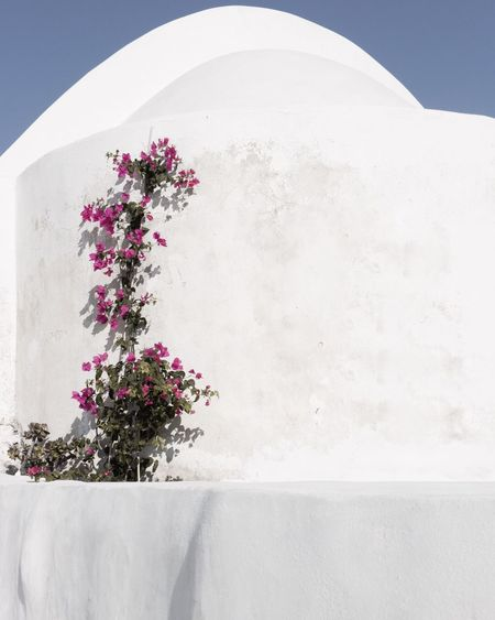 Flower Growth Plant Nature No People Beauty In Nature Fragility Whitewashed Outdoors Day Freshness Close-up Flower Head Oia Santorini Santorini, Greece EyeEmNewHere Religion Architecture White Color Building Exterior Bougainvillea Santorini Island Santorini