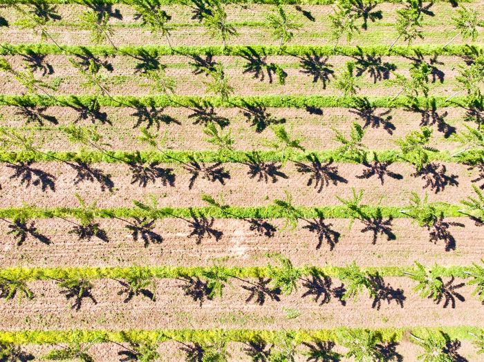 Italy, Mantua: aerial views of poplar trees plantation (pulp for paper making) Poplar Tree Plant Plantation Agriculture Field Lines Parallel Shadow Scenics Landascape Aerial View Drone  Outdoors Day Daylight Daytime Sunny Green Color Color Green