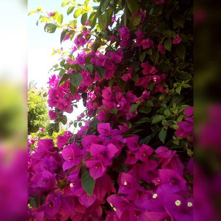 Flowers Jardins Gardens Flores Floroj Brazil Brazilo Brasil Nature Purple Pink Color Flower No People Beauty In Nature Tree