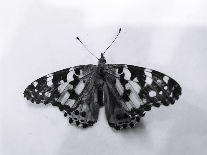 Insect Animal Themes Animals In The Wild One Animal Butterfly - Insect Animal Wing Animal Wildlife Animal Markings White Background Butterfly Close-up Full Length No People Outdoors Day Nature