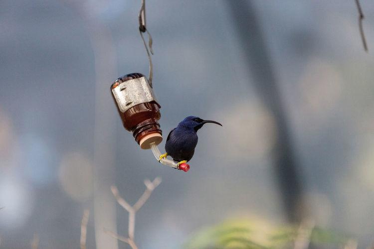 Male purple honeycreeper perching on bird feeder