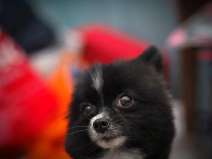 Pomeranian Pets Close-up Dog Indoors  Looking At Camera Domestic Animals Pet Portraits
