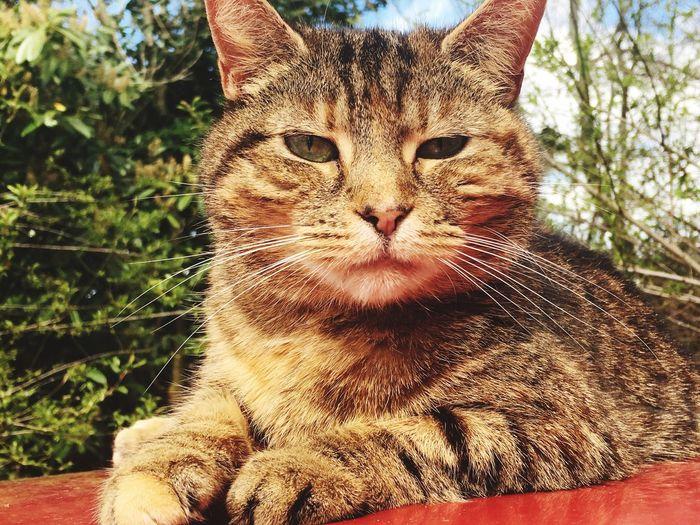 Cat Domestic Cat Animal Themes Feline Pets Mammal No People Whisker Tabby Cat Domestic Pets
