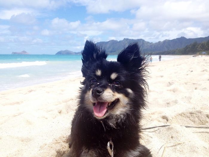 Chihuahua on sandy beach