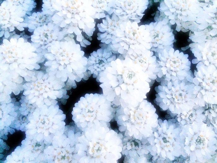 自由に… 。染まれ… 。 White Flower Color Colors Iphonegallery EyeEm Gallery Japan Japanese  Hello World この花の名前知らない。 Spring Flower Peace http://youtu.be/tpk0PxK-c5E