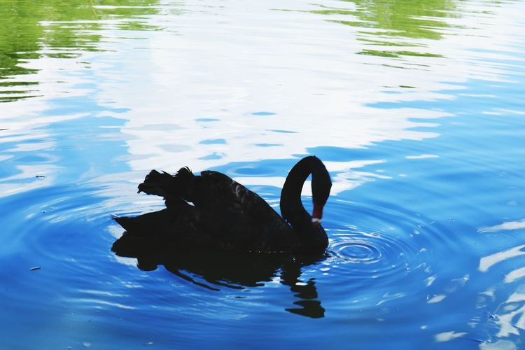 Black swan #nature Black Swan Black Swan On Water Water Swimming UnderSea Lake Underwater Water Bird Swan